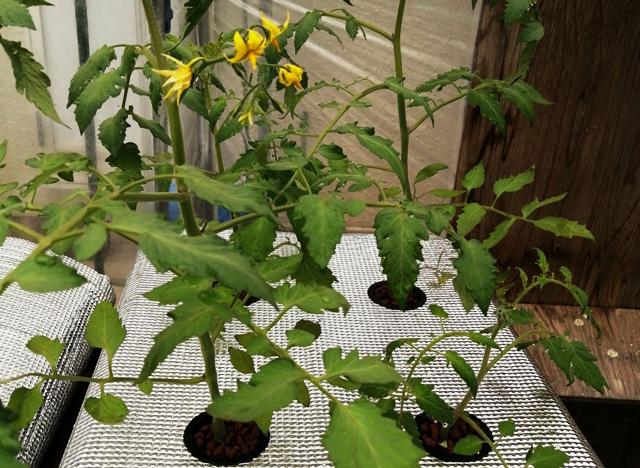 『 ミニ トマト『アイコ』を種から栽培する記録Part2 』 ..栽培溶液は栽培ポットの底面下1センチあたりが液面になりますので既に栽培溶液に達しています。で、アイコの方は…..