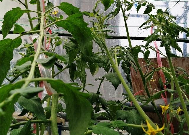 『 ミニ トマト『アイコ』を種から栽培する記録Part2 』 ..アイコに一番果が!まだ小っちゃいのですがアイコ誕生です!..
