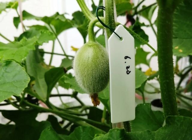 『 メロン栽培は難しい?水耕栽培でメロンを育てる記録 』 ..これも5節あたりだから摘果した方が…..