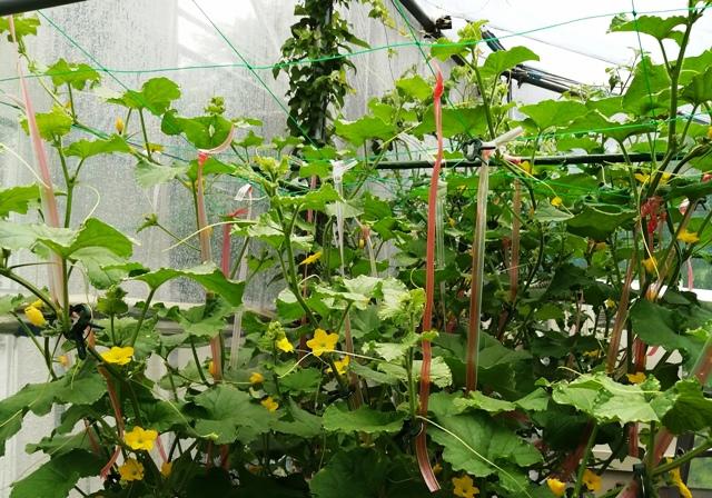 『 メロン栽培は難しい?水耕栽培でメロンを育てる記録 』 ..メロンの水耕栽培を始めてほぼ1か月経ちました。何だか元気良すぎです。..