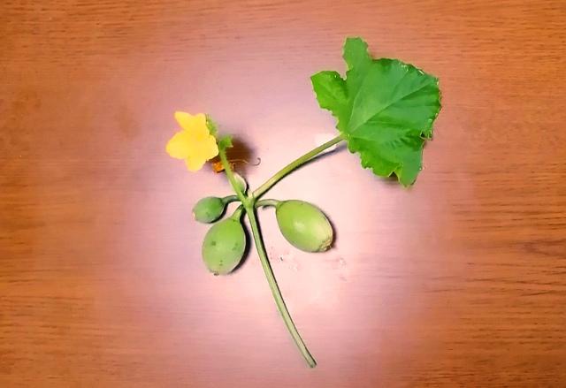 『 メロン栽培は難しい?水耕栽培でメロンを育てる記録 』 ..ということで摘果の結果です。..
