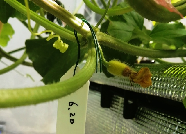 『 メロン栽培は難しい?水耕栽培でメロンを育てる記録 』 ..6/20日、いくつかの蕾が開花しました。ということで受粉して3日後…..