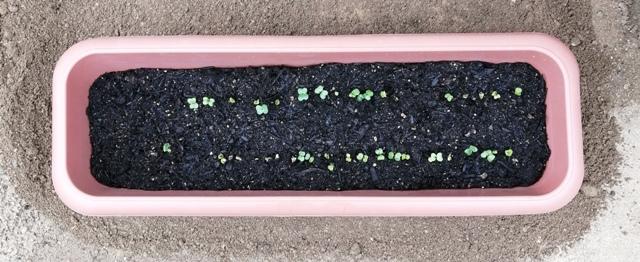 『 20日大根(ラディッシュ)をプランターや水耕栽培で育てる日記 』 ..種まきは2019/5/28に行い5/31の朝2つぐらい芽を出し、夕方には10粒ぐらい芽を出していました。そして6/1日の様子がこれです。..