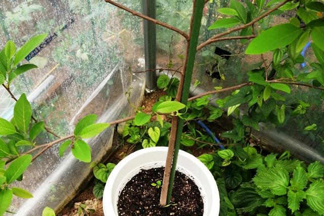 『 釈迦頭(バンレイシ)の育て方~鉢植えで花が咲くまで 』 ..一応、住まいは水やり当番付き、日当たり良好! 風雨をしのげて快適な?温室の1等地なのです。(^^;..