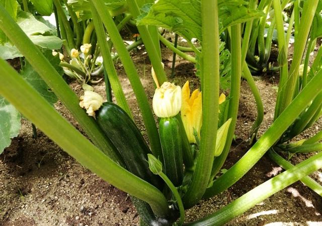 『 始めてズッキーニを種から栽培してみました 』 ..そしてこれも!..