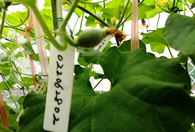 『 メロン栽培は難しい?水耕栽培でメロンを育てる記録 』 ..手作業の受粉でうまくいかなかったのもあるけど、いくつか受粉できたかなというのも見受けられます。..