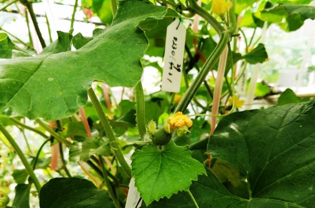 『 メロン栽培は難しい?水耕栽培でメロンを育てる記録 』 ..これも大丈夫っぽいです。..