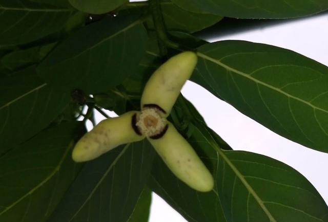 『 釈迦頭(バンレイシ)の育て方~鉢植えで花が咲くまで 』 ..こんな感じです。..
