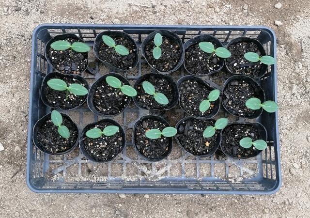 『 ★きゅうり水耕栽培★種まきから収穫まで何日かかる? 』 ..こんなルールを作って機械的に間引きしたのがこちらです。..