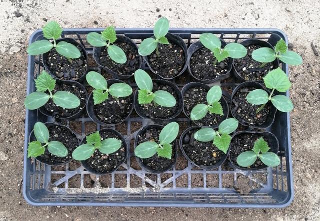 『 ★きゅうり水耕栽培★種まきから収穫まで何日かかる? 』 ..翌10日には全部のポットで本葉が芽生えました。..