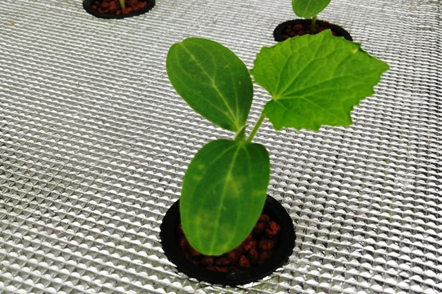 『 ★きゅうり水耕栽培★種まきから収穫まで何日かかる? 』 ..水耕栽培装置にセットして2日目です。..