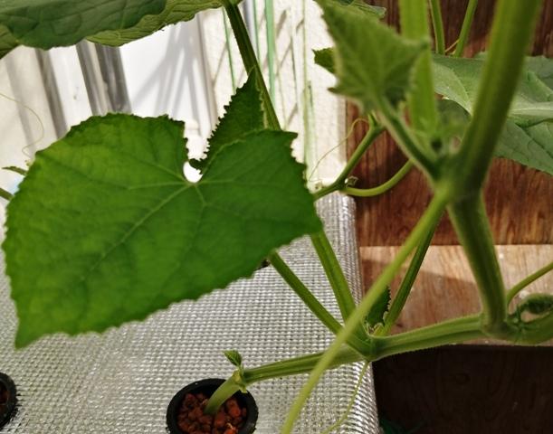 『 ★きゅうり水耕栽培★種まきから収穫まで何日かかる? 』 ..きゅうりの種まきをして27日、水耕栽培を始めて17日が経過しました。水耕栽培のきゅうりは脇芽も伸びてきました。..