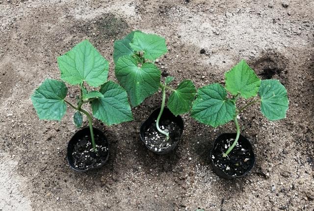 『 ★きゅうり水耕栽培★種まきから収穫まで何日かかる? 』 ..これはポットのままのきゅうりの苗。..
