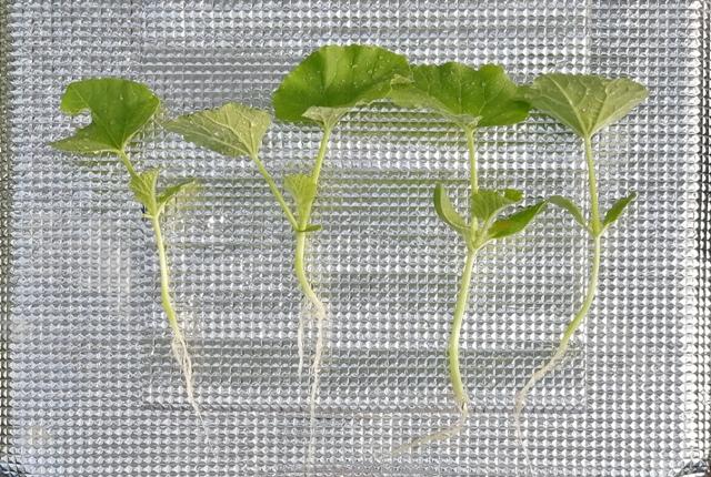 『 メロン栽培は難しい?水耕栽培でメロンを育てる記録 』 ..実際に作業したのは8/24日、栽培曹を塩素消毒したり配管したりということで1日潰れました。水耕栽培ということでいつものように根を洗います。..