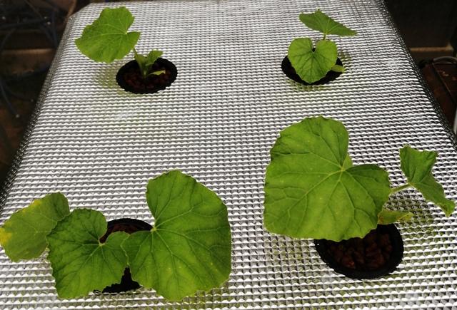『 メロン栽培は難しい?水耕栽培でメロンを育てる記録 』 ..メロンの水耕栽培4日目です。あまり見たところの変化はないようです。..