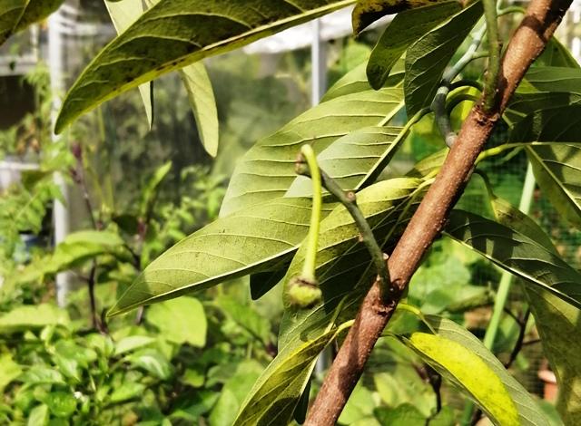 『 釈迦頭(バンレイシ)の育て方~鉢植えで花が咲くまで 』 ..毎日、毎日5枚ぐらいは散っていきます。結実した枝の葉も全部落ちてしまいました。..