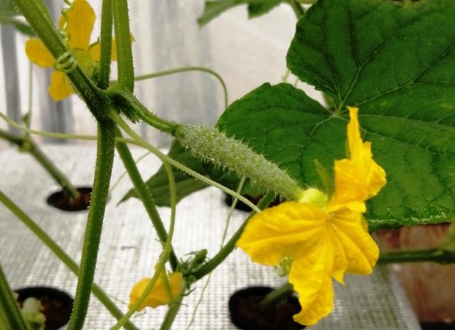 『 ★きゅうり水耕栽培★種まきから収穫まで何日かかる? 』 ..キュウリの種播きしたのが8/1日、ちょうど種まき6週目の終日、42日目に待望のめしべに花が咲きました。..