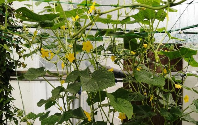 『 ★きゅうり水耕栽培★種まきから収穫まで何日かかる? 』 ..今日は沢山花が咲きました。..