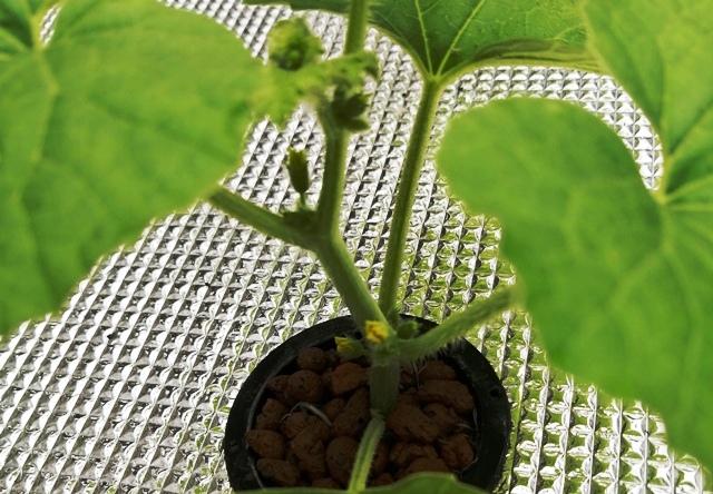 『 メロン栽培は難しい?水耕栽培でメロンを育てる記録 』 ..本葉一枚目のところに何やら蕾が…!メロンの花が咲きそうです。..